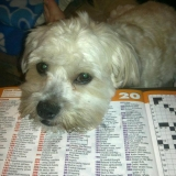 Crossword Dog